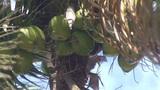 Varadero Coconuts in palmtree Footage