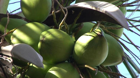 Varadero Coconuts in palmtree 3 Stock Video Footage
