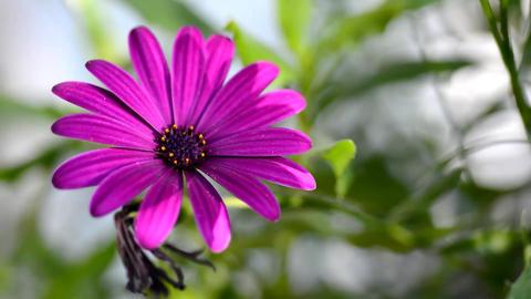 Purple Osteospermum Stock Video Footage