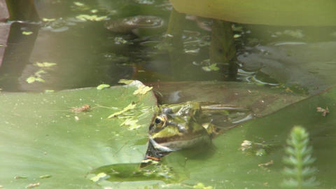 Frog on a leaf Stock Video Footage
