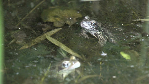 Two Frogs Stock Video Footage