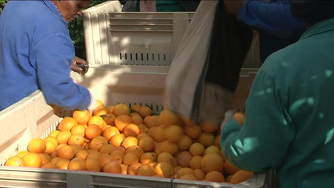 Picking lemons, South Africa Stock Video Footage