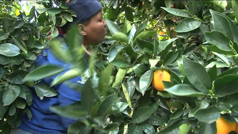 Picking lemons, South Africa Footage