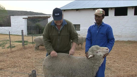Sheeps and wool Stock Video Footage