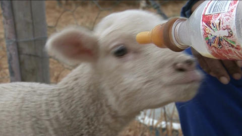 Young sheep drinking milk out of bottle Footage