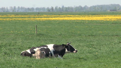 Cow in farmland Stock Video Footage