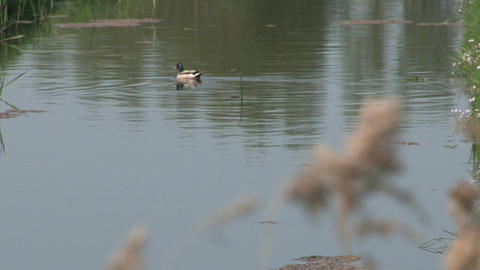 Duck in river Stock Video Footage