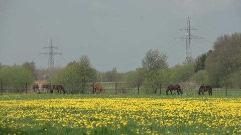 Dutch landscape with horses Footage