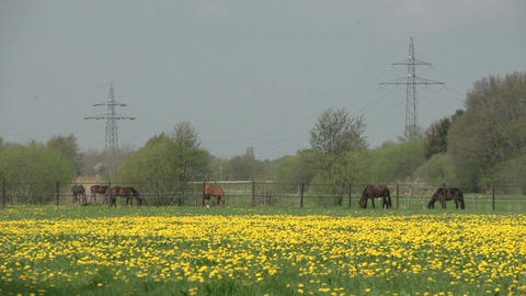 Dutch landscape with horses Stock Video Footage