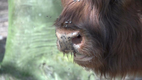 Scottish Highlanders CU in slowmotion 400fps Footage