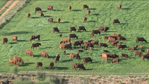 Cows in grassland Stock Video Footage