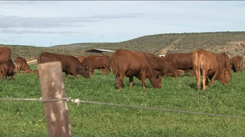 Cows in grassland 3 Stock Video Footage
