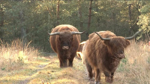 Scottish Highlanders Footage