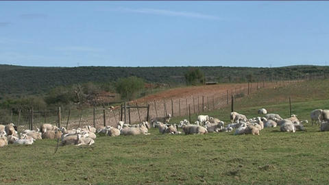 Sheeps in grassland 2 Stock Video Footage