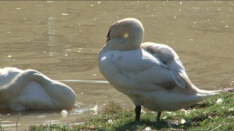 Swans in pond 2 Stock Video Footage
