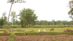 Herd of Cows Grazing in Field in Rural Thailand Stock Video Footage