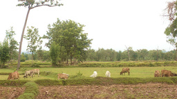 Herd Of Cows Grazing In Field In Rural Thailand stock footage