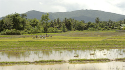 Landscape View of Thai Farmers Planting Rice Seedl Stock Video Footage