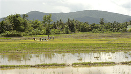 Landscape View of Thai Farmers Planting Rice Seedl Footage