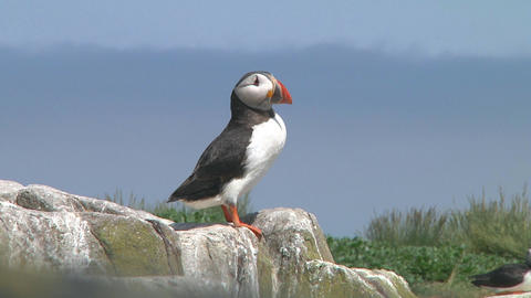 Single puffin Stock Video Footage