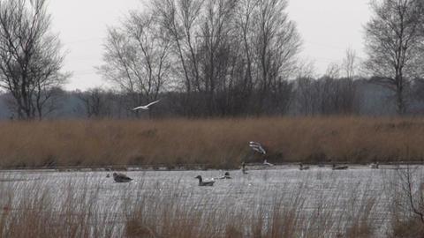 Ducks in pond slowmotion 400fps Footage