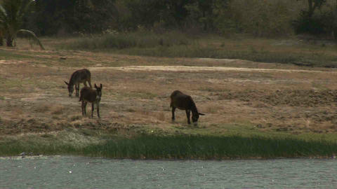 Wild donkeys in Mozambique Stock Video Footage
