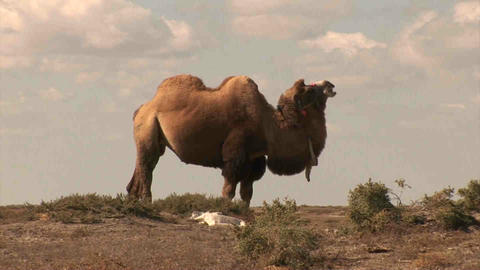 Camel in dessert Kazakhstan Stock Video Footage