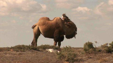 Camel in dessert Kazakhstan Footage
