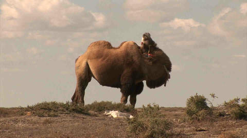 Camel in dessert Kazakhstan Stock Video Footage