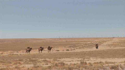 Camels in dessert Kazakhstan Footage
