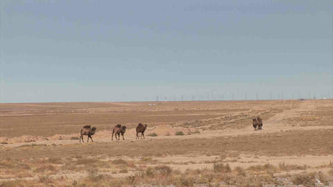 Camels in dessert Kazakhstan Stock Video Footage