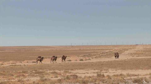 Camels in dessert Kazakhstan Stock Video Footage