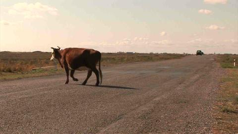 Car Roadside Cow Kazakhstan Stock Video Footage