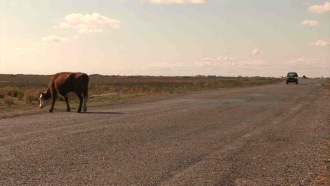 Car Roadside Cow Kazakhstan Footage