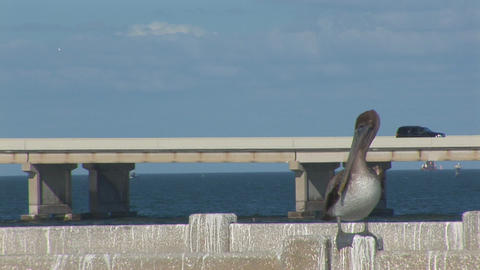 Pelican on a bridge Stock Video Footage