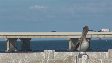 Pelican on a bridge Stock Video Footage