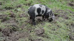Pig Stock Video Footage