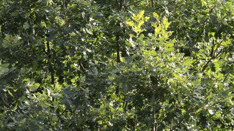 Oak tree in wind Footage