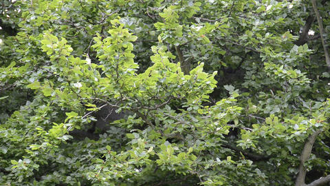 Branches of a beech tree Stock Video Footage