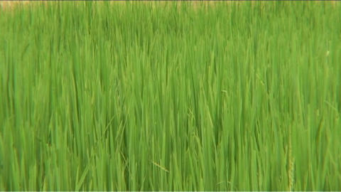 Rice field Stock Video Footage