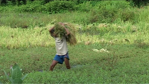 Man working in rice fields Footage