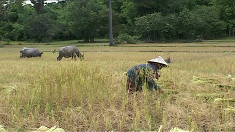 Woman working in rice fields Footage