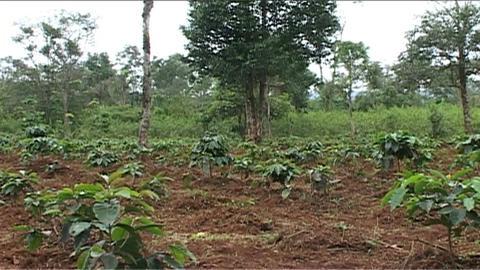 Boloven Plateau coffeeplantation Stock Video Footage