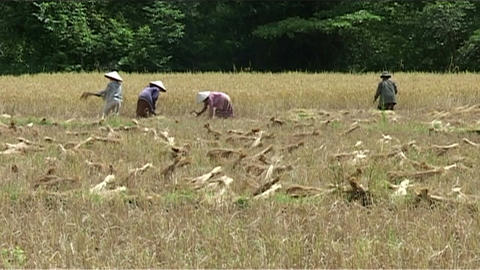 People working in rice fields Stock Video Footage