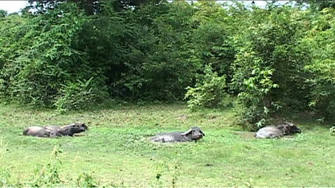 Water buffalo in the country Stock Video Footage