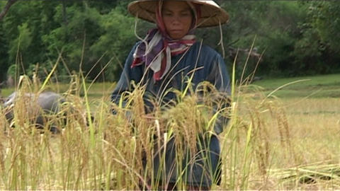 Woman in rice field Stock Video Footage