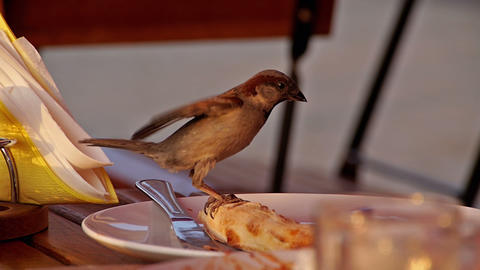 Sparrow eating from a plate Footage