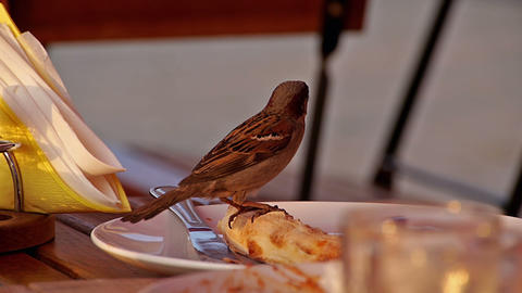 Sparrow eating from a plate Stock Video Footage