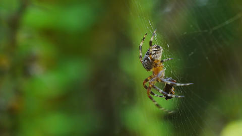 Spider immobilize its prey Stock Video Footage