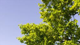 green tree crown Footage